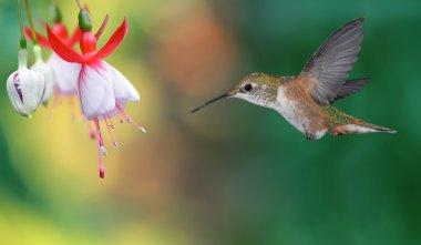 Hummingbird (archilochus colubris) in Flight over Bright Backgro