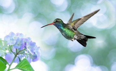 Dreamy image of a Ruby-throated Hummingbird