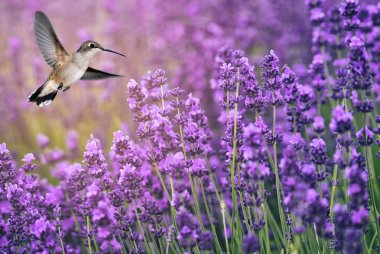 Hummingbird feeding on wild flowers