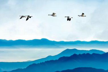 Geese flying against blue sky background