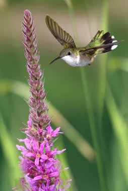 Vertical image of hummingbird feeding from pink flowers
