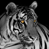 Fotografie black and white tiger