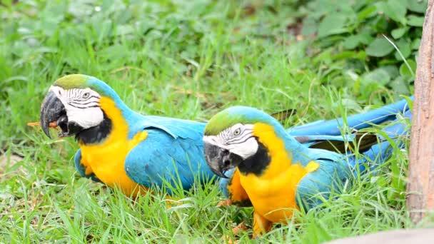 Macaw parrots. HD