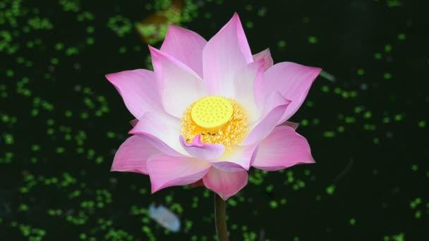 A pink lotus. HD