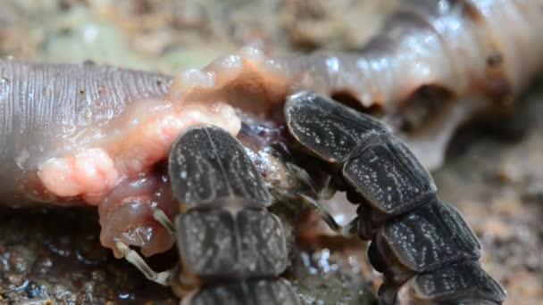 Wanzen fressende Regenwürmer. hd