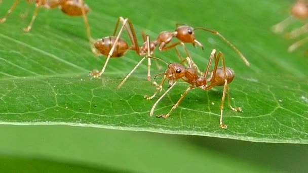 Red ant on leaf in tropical rain forest.