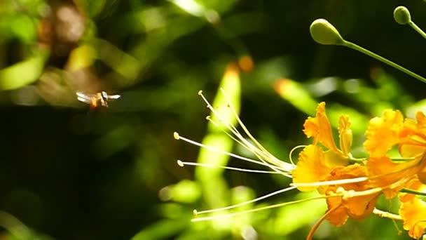 Sesiidae (Clearwing lepkék) repülő virág nektár.