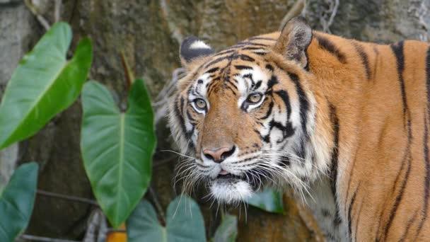 a bengáli tigris portré.