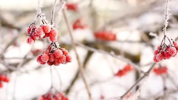 Zimní mražené viburnum pod sněhem. Viburnum ve sněhu. Červené bobule. Nádherná zima.