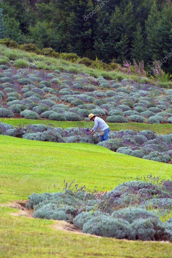 Harvesting Lavender on Hill in Maui