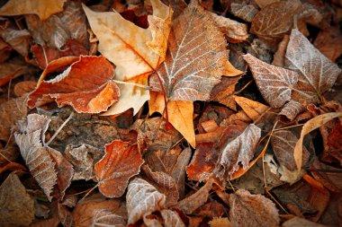 Frozen leaves close up.