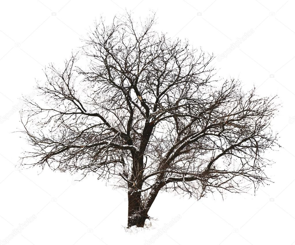 дерево без листьев фото