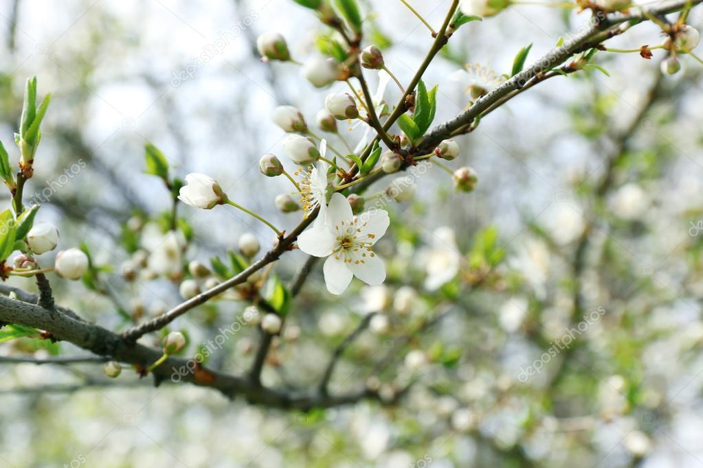 weiß blühende baum — Stockfoto © belchonock #109083024