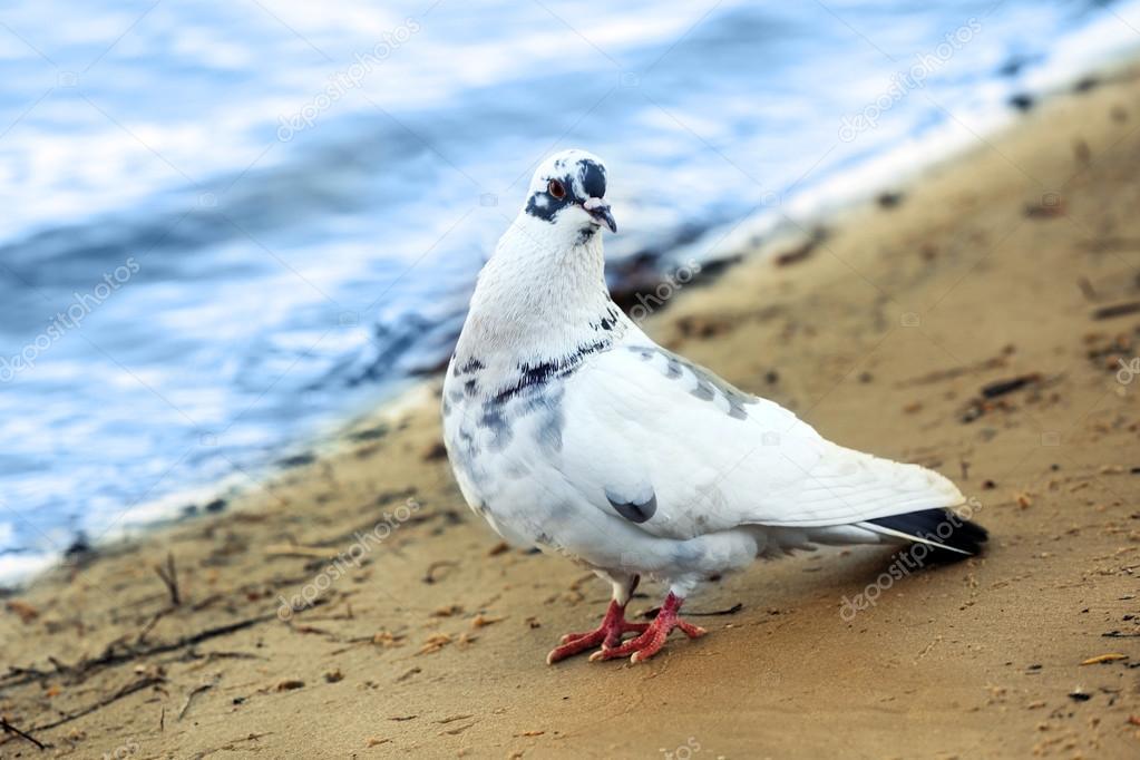 Beautiful pigeon on beach