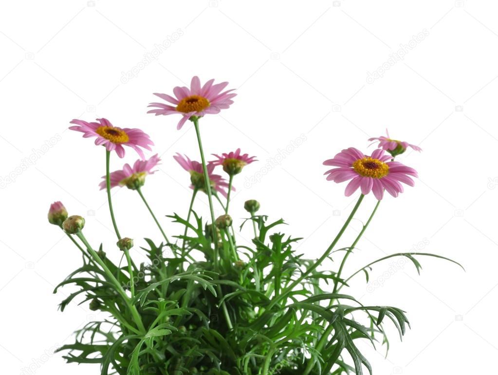 Little Pink Daisies Flowers Stock Photo Belchonock 112515438