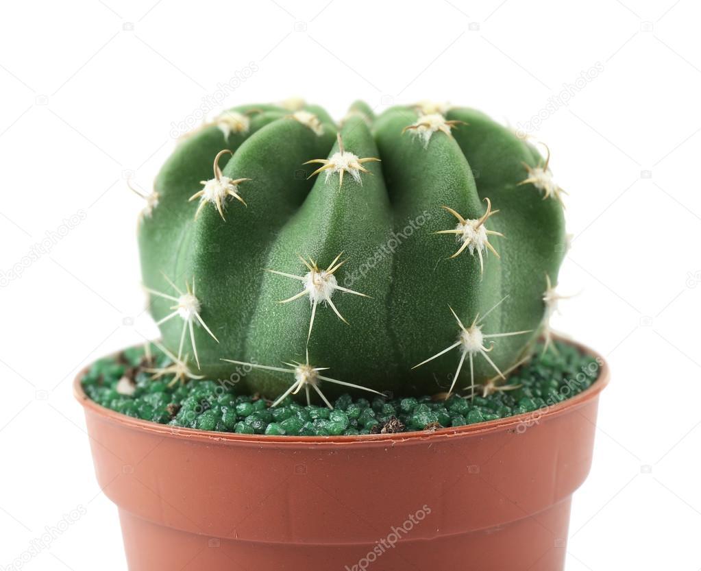 Do Domu Kaktus W Doniczki Zdjęcie Stockowe Belchonock