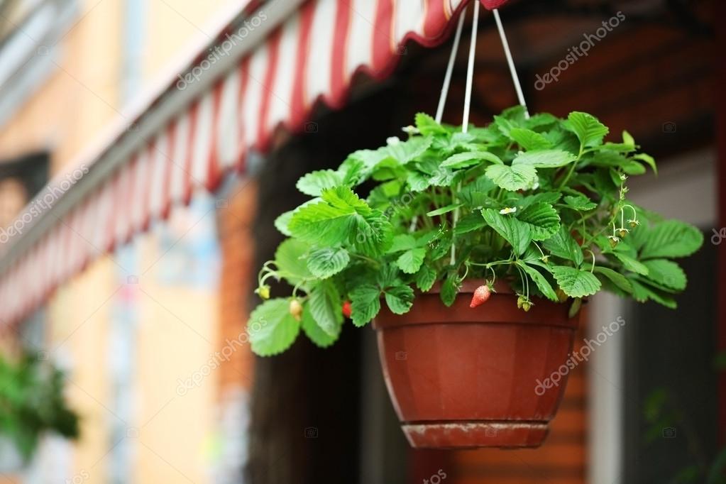 Jardinera Colgante Con Arbustos De Frutilla Fotos De Stock - Jardinera-colgante