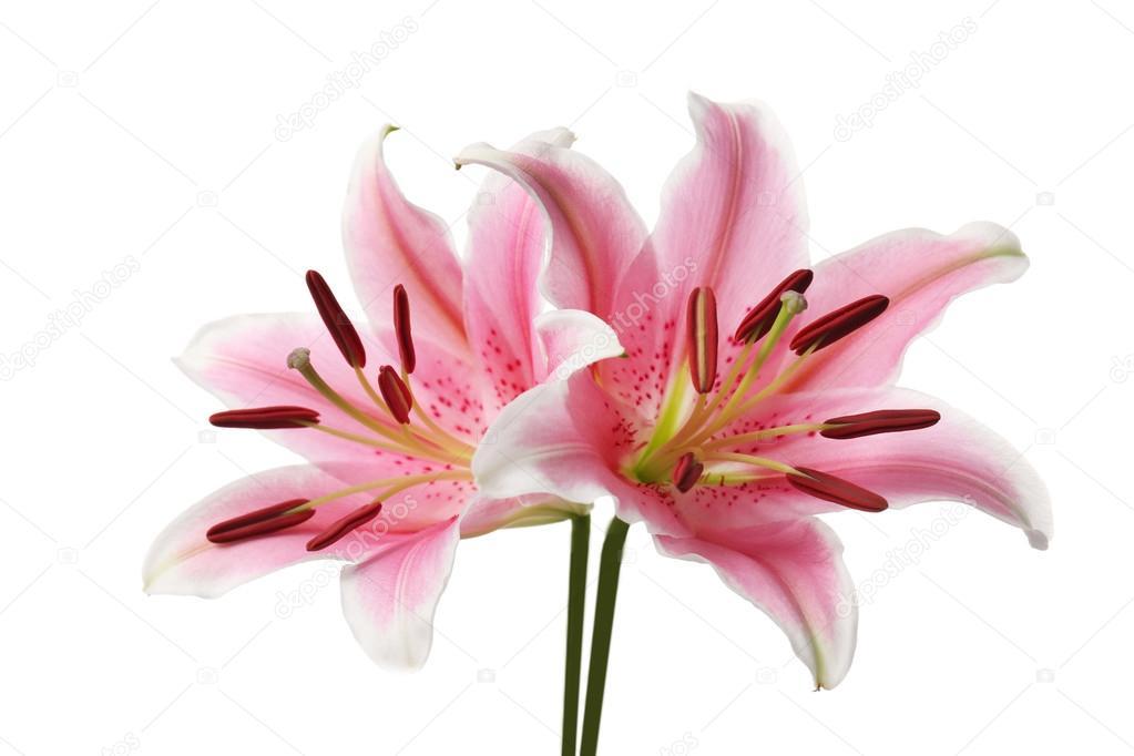 Blumen rosa Lilie — Stockfoto © belchonock #118293924