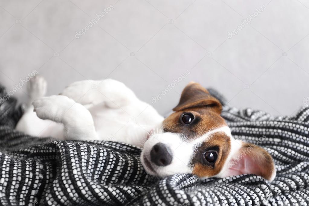 Resultado de imagen para jack russell terrier 犬  かわいらしい