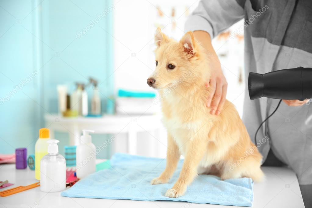Good Spitz Canine Adorable Dog - depositphotos_119855152-stock-photo-cute-dog-spitz-at-groomer  You Should Have_58868  .jpg