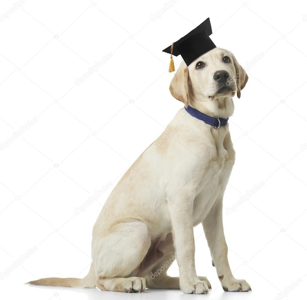 Popular Graduation Cap Black Adorable Dog - depositphotos_120317048-stock-photo-adorable-dog-with-black-graduation  Picture_471873  .jpg