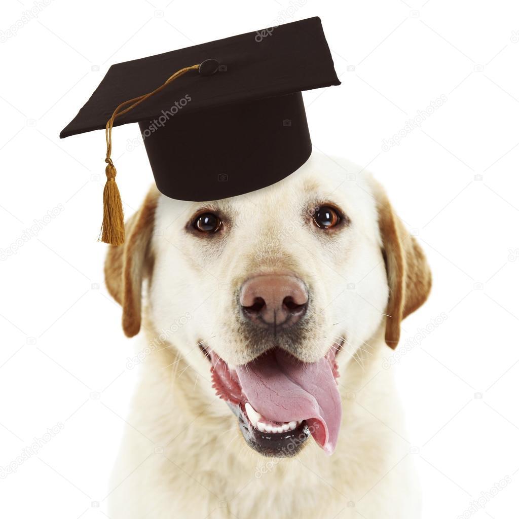 Best Graduation Cap Black Adorable Dog - depositphotos_120602532-stock-photo-adorable-dog-with-graduation-cap  Gallery_167463  .jpg