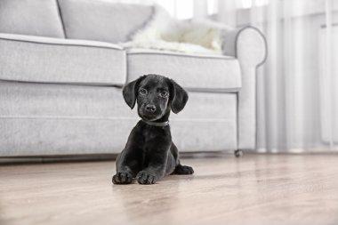 Funny Labrador puppy