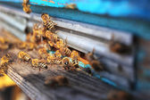 Honeybees entering hive