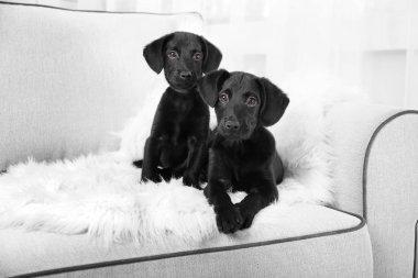 Funny Labrador puppies