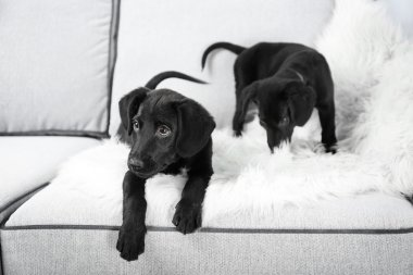 Funny Labrador puppies