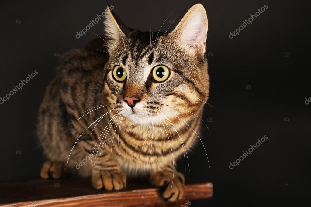 Gatto grigio su sgabello u2014 foto stock © belchonock #53693293