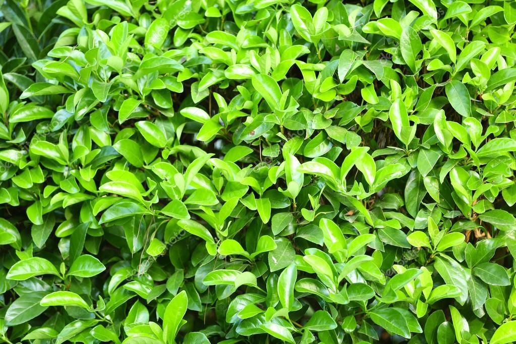 Hermoso arbusto verde en jard n primer plano foto de for Arbustos en jardines