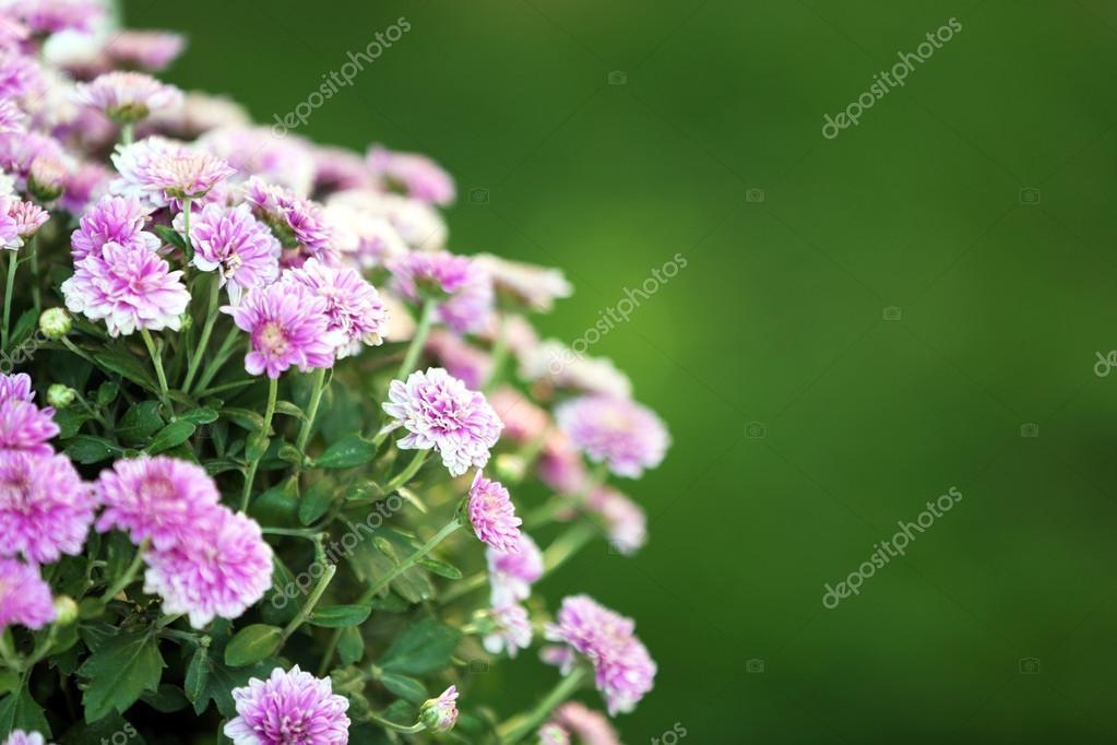 Lila Blumen auf grünem Gras Hintergrund — Stockfoto © belchonock ...