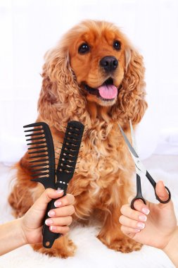 Cocker spaniel grooming at the salon for dogs
