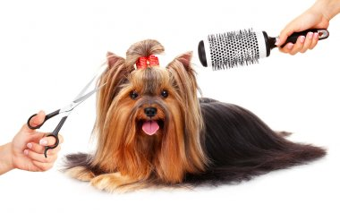 Yorkshire terrier grooming at the salon for dogs, isolated on white