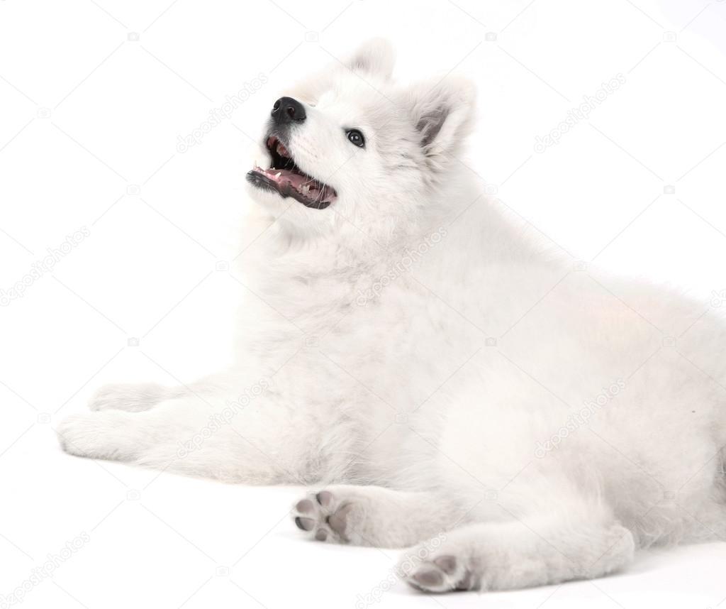 Friendly Samoyed Dog Lying Isolated On White Stock Photo