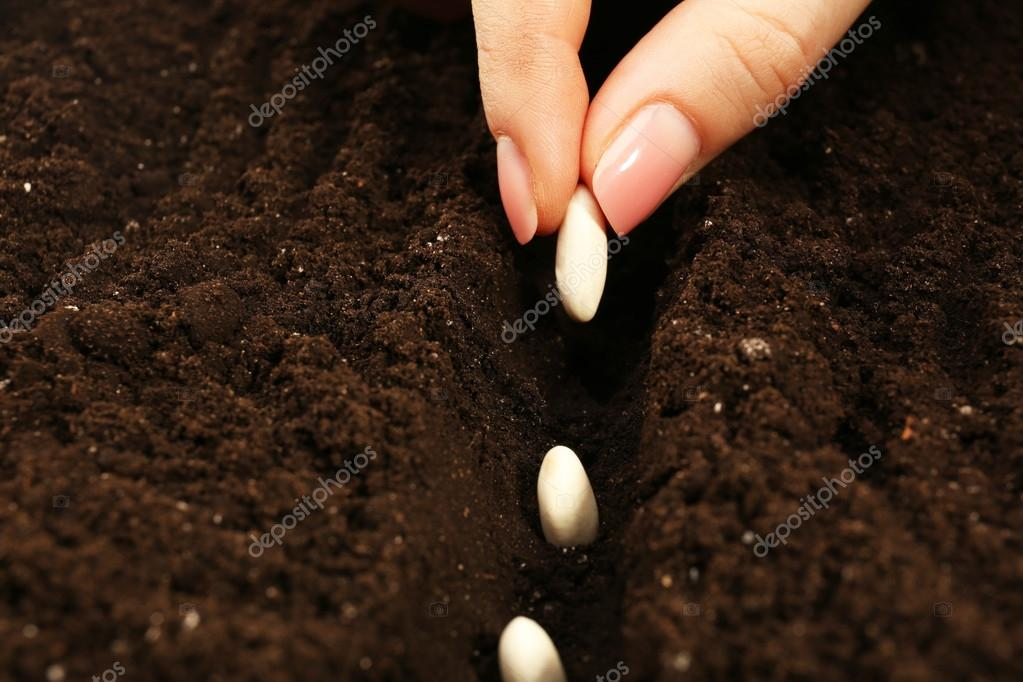 Female hand planting white bean seeds in soil, closeup