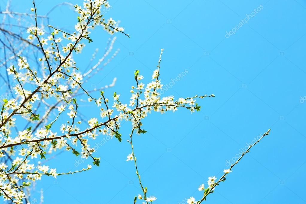 Blühender Baum Zweige mit weißen Blüten im Frühjahr am blauen Himmel ...