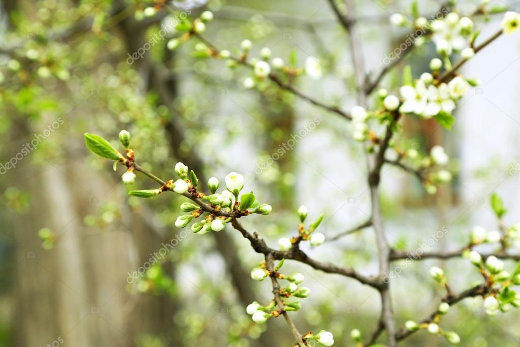 Blühender Baum Zweige mit weißen Blüten im Frühjahr hautnah ...
