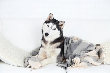 Beautiful cute husky