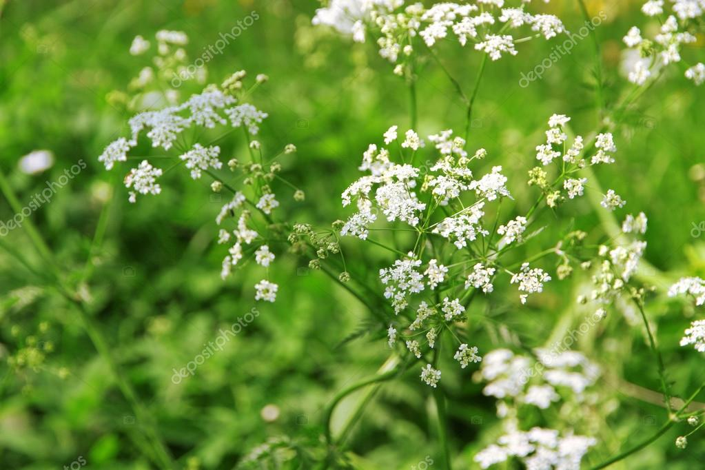 Small white wildflowers, closeup — Stock Photo