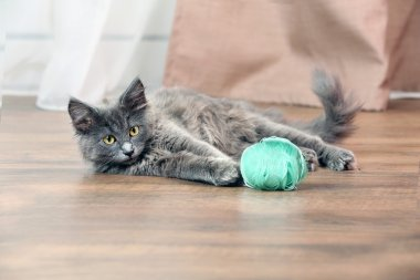 Cute gray kitten plays with threads for knitting on floor at home