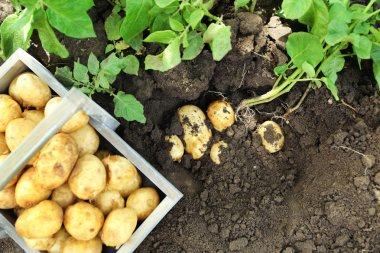 New potatoes in wooden crate near potato tuber in garden