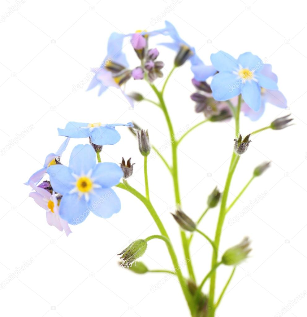 Forget Me Nots Flowers Isolated On White Stock Photo Belchonock