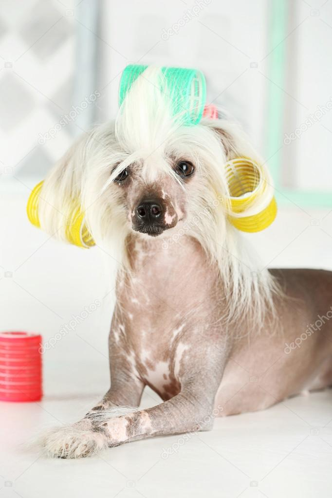 Chinese Crested Dog At Barbershop Stock Photo Belchonock 79077412
