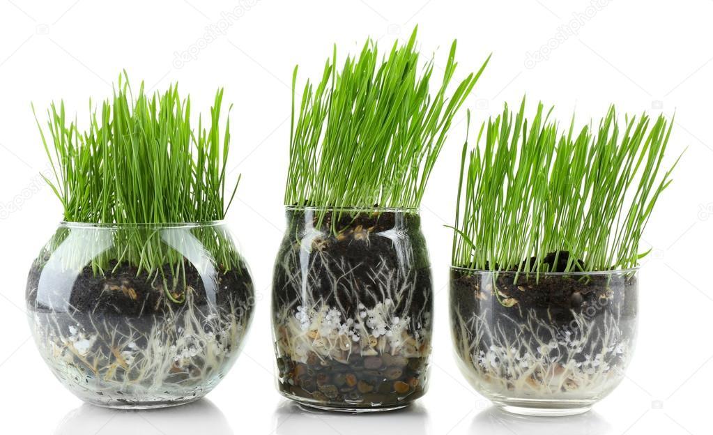 Erba verde in vasi trasparenti foto stock belchonock for Vasi erba