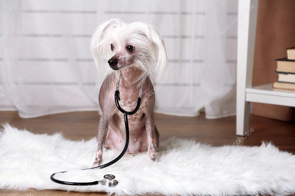 Hairless Chinese Crested Dog With Stethoscope In Room Stock Photo
