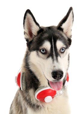 huskies dog with headphones
