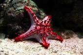 Fotografie Podmořský svět - mořská hvězda v akváriu