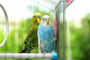 Colorful budgies in cage
